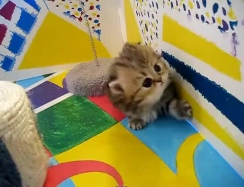 "Watch and share Cute Persian Kittens: The ""I"" Litter 1 Of ? - 7.10.11 GIFs on Gfycat"