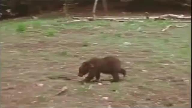 Watch 🔥 Bear cub vs puma 🔥 (reddit) GIF by FarSizzle (@farsizzle) on Gfycat. Discover more nature GIFs on Gfycat