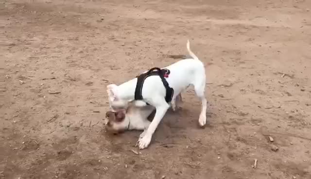 Watch 6 Month Dogo Argentino vs Pitbull GIF on Gfycat. Discover more related GIFs on Gfycat