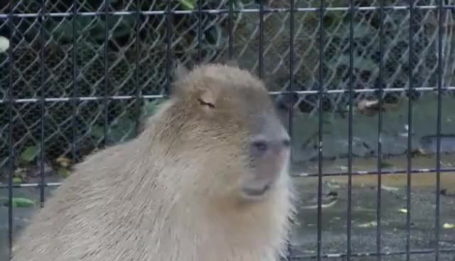 Watch and share Capybara Makes Very, Very Funny Faces カピバラは非常に面白い顔を作ります GIFs on Gfycat