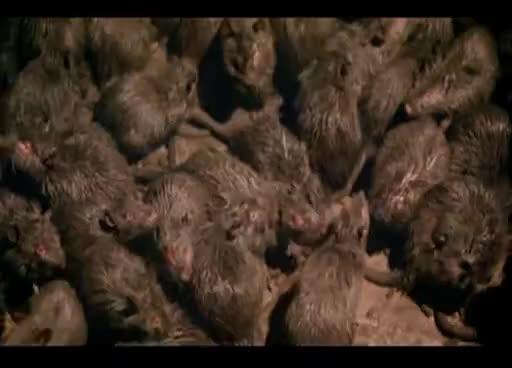 Rats GIFs