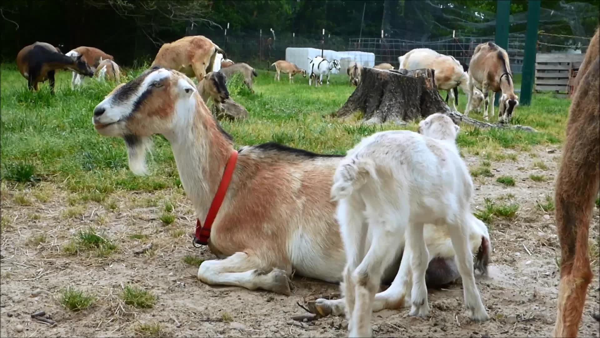 Goatparkour, goat, knsfarm, newborn, Newborn Parkour Practice GIFs