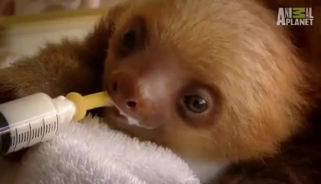 Watch this animal GIF on Gfycat. Discover more Baby, Sloth, animal, animals, baby, sloth GIFs on Gfycat