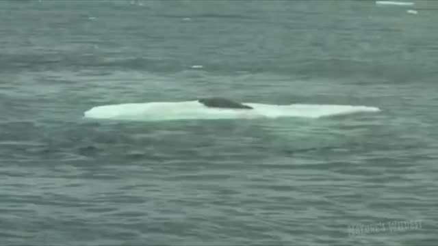 Watch and share Orca Hunt Seal GIFs by 연우 어마어마해 on Gfycat