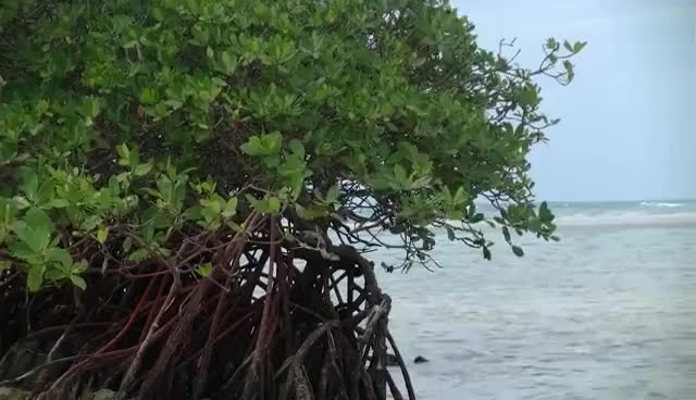 Watch and share Mangrove Trees GIFs on Gfycat