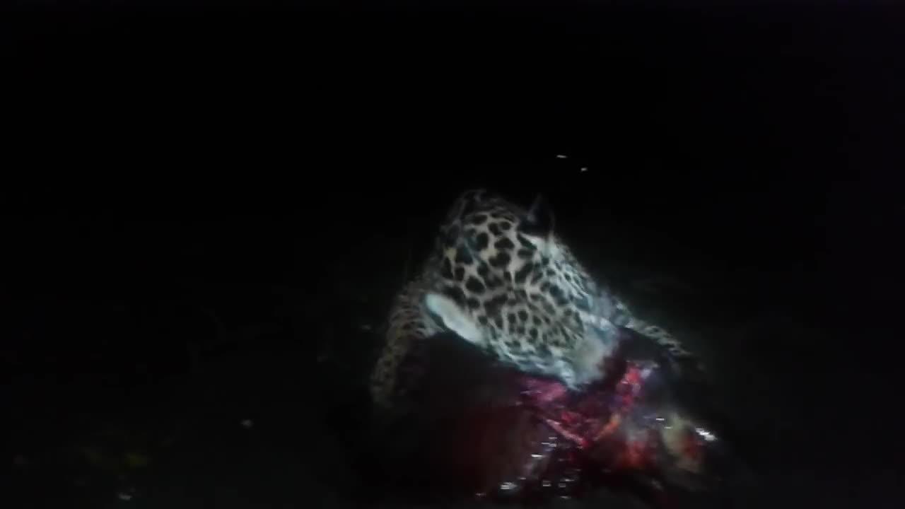 natureismetal, Predation of olive ridley Sea turtle by the jaguar at Nancite Beach, Costa Rica GIFs