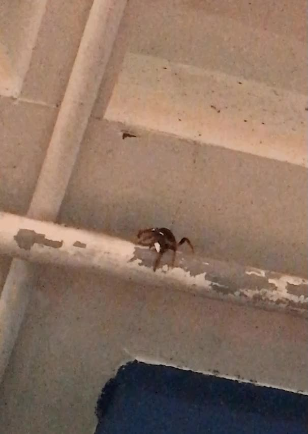 Watch This crab is making its way down a pipe in the shop I'm working in and peeling paint off. Thanks for the mess, jerk. (reddit) GIF on Gfycat. Discover more AnimalsBeingJerks GIFs on Gfycat