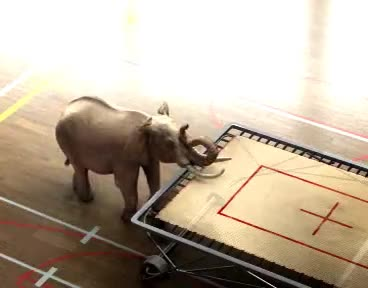 animation, elephant, jumpin, trampoline, elephant GIFs