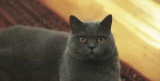 Watch and share Evil Eye, Stink Eye, Cat GIFs on Gfycat