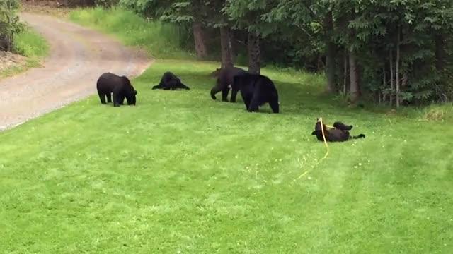 Watch Black Bear Family Visits || ViralHog GIF on Gfycat. Discover more viralhog GIFs on Gfycat