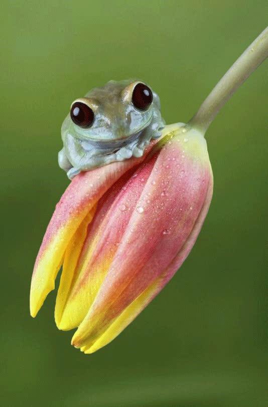 amphibians, animation, frog, nature, spring, tulip, Tulip Swinging GIFs