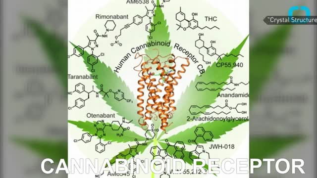 Watch CANNABIS GIFFY GIF on Gfycat. Discover more Cannabinoid, Cannabinoid receptor, Cannabinoid receptor type 1, Cannabis, Cannabis (drug), Herbalism, Marijuana, Nora Volkow, Receptor (biochemistry) GIFs on Gfycat