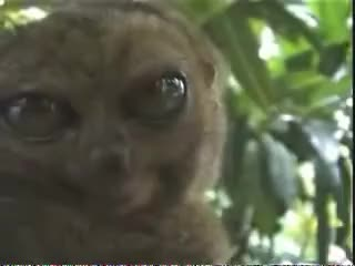 Watch and share Lemur, O Bicho Estranho!! GIFs on Gfycat