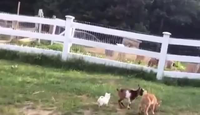 Watch Chihuahua Puppy thinks she's a Baby Goat GIF on Gfycat. Discover more related GIFs on Gfycat