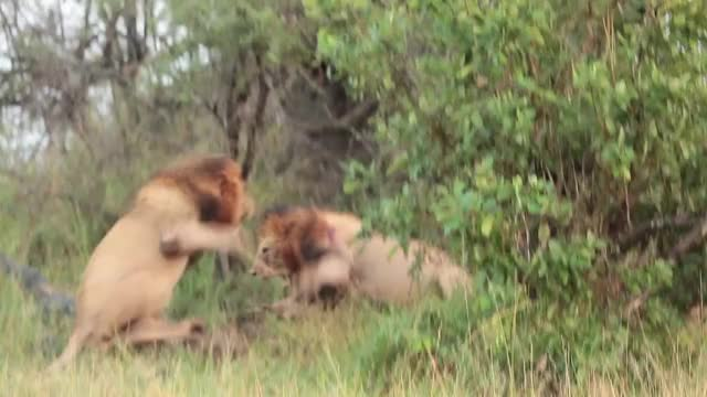 Watch Birmingham Fight GIF by Londolozi Game Reserve (@londolozi) on Gfycat. Discover more related GIFs on Gfycat