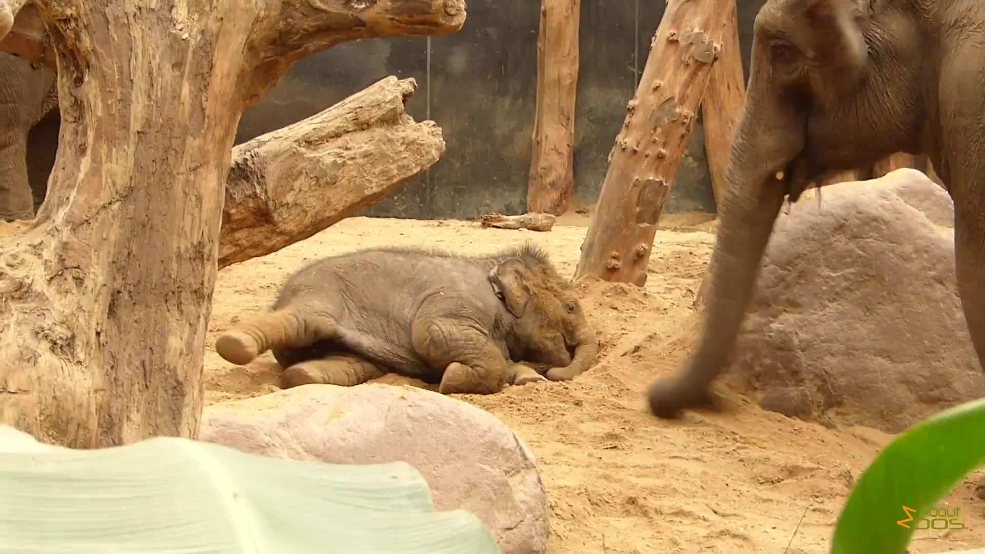 amersfoort, asian elephants, calves, dierenpark, dierentuin, netherlands, parc zoologique, pmmesteamk3ys, tierpark, zoo, zoological park, mom and baby playing in the dirt GIFs