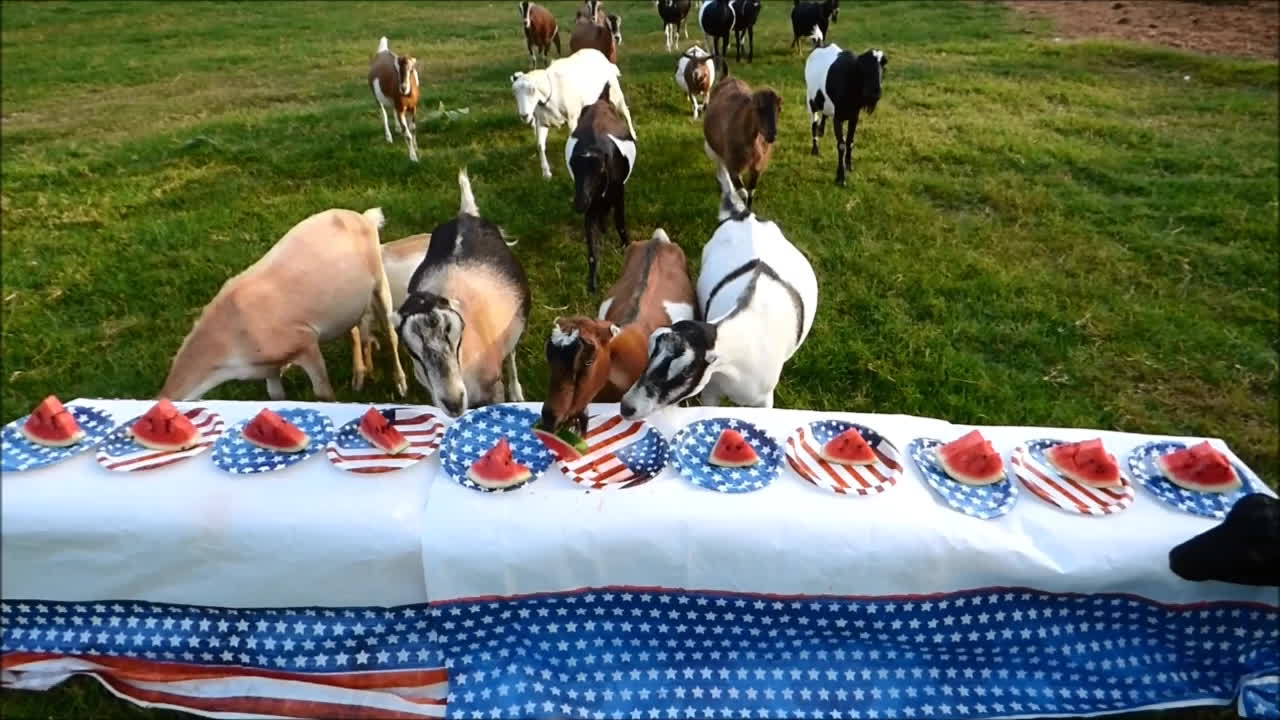 4th of july, america, fourth of july, freedom, goat, goats, independance day, independence day, july 4, july 4th, knsfarm, watermelon, Goats Celebrating the 4th GIFs