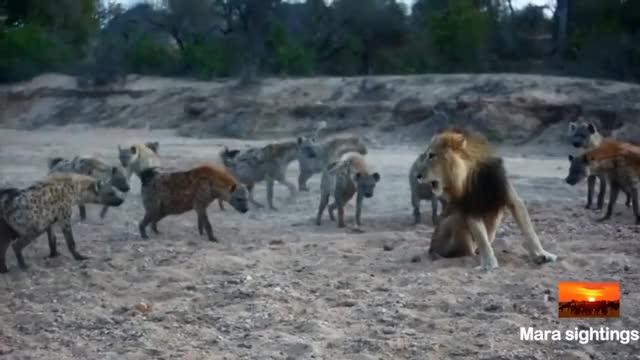 Watch lion hyenas GIF on Gfycat. Discover more hyena, lion, roadtrip, travel GIFs on Gfycat