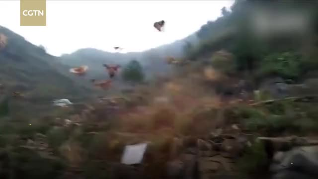 Watch Farmer whistles and his chickens fly down for the feast GIF on Gfycat. Discover more cctv, cctvnews, cgtn, china, chinanews, news, politics, worldnews GIFs on Gfycat