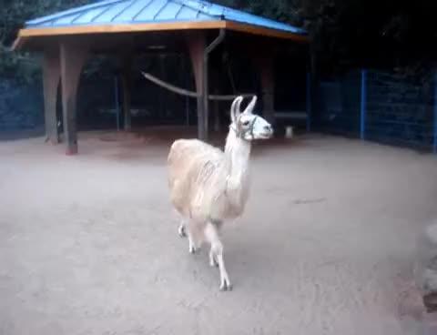 Watch alpaca GIF on Gfycat. Discover more alpaca, funny GIFs on Gfycat