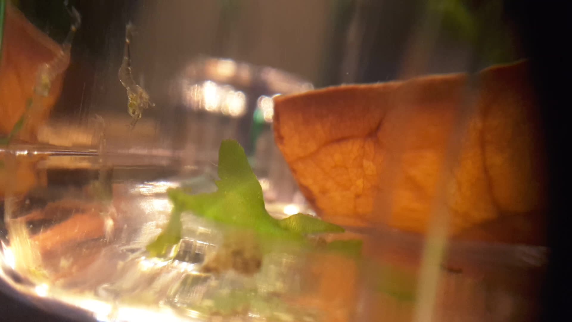 shrimptank, One day old ghost shrimp feeding on copepod(?) (reddit) GIFs