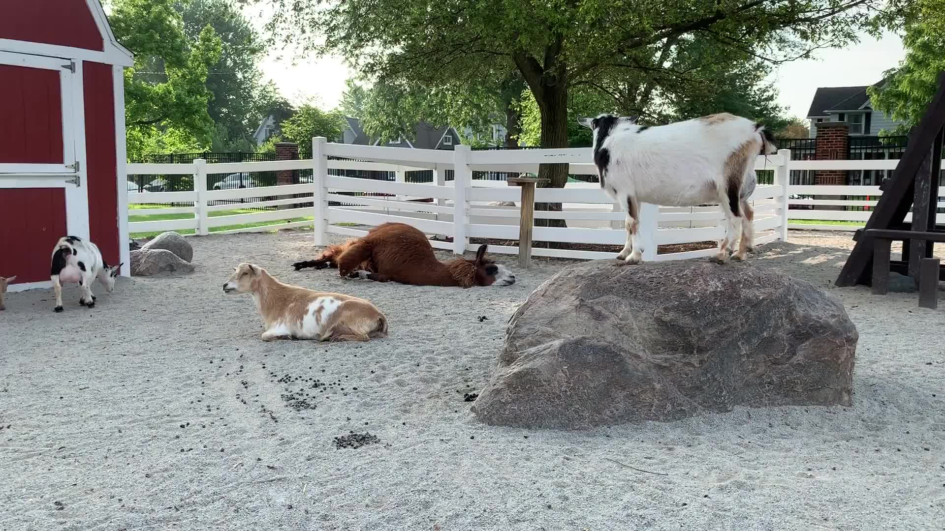 goat parkour, goats,  GIFs