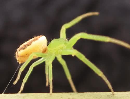 """Watch and share Zooophagous: """" Dance Magic Dance """" Cute Crab Spider! GIFs on Gfycat"""