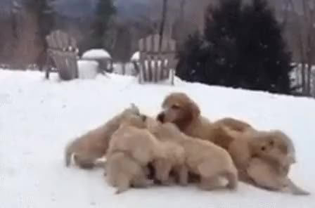 Watch and share Golden Retriever Puppies GIFs on Gfycat