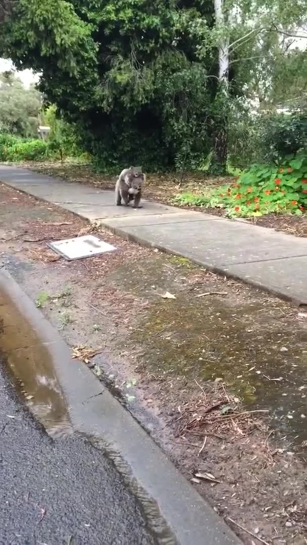 Watch and share Koala Takes A Morning Stroll Down A Sidewalk With Mother GIFs by Beef on Gfycat