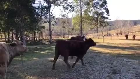 Watch and share Happy Cows At Where Pigs Fly Farm Sanctuary GIFs by lnfinity on Gfycat