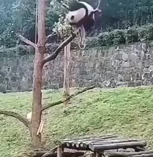 Watch How have pandas survived? GIF on Gfycat. Discover more Diesel_Doctor GIFs on Gfycat