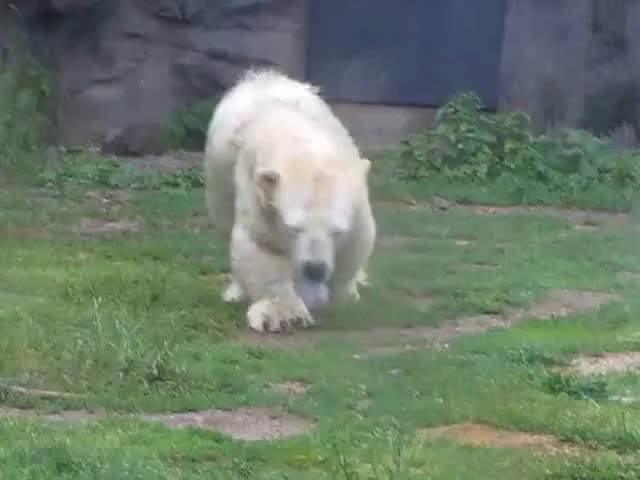 Watch and share Dwarf Polar Bear GIFs and Antonia GIFs by PM_ME_STEAM_K3YS on Gfycat