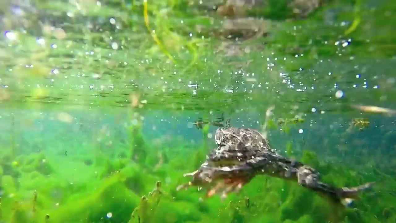 camera, catch, frog, gopro, release, GoPro Frog Swimming GIFs