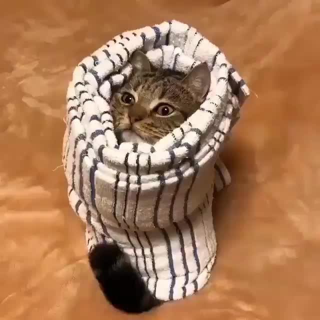 Watch and share Vertical Burrito Cat GIFs by tothetenthpower on Gfycat