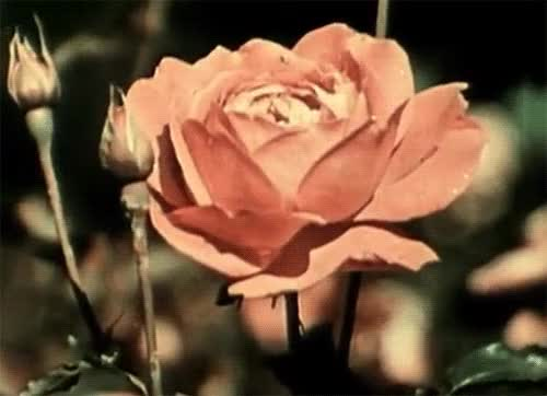 Watch this flowers GIF on Gfycat. Discover more related GIFs on Gfycat