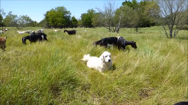 Watch and share Livestock Guardian GIFs and Knsfarm GIFs by KNS Farm on Gfycat