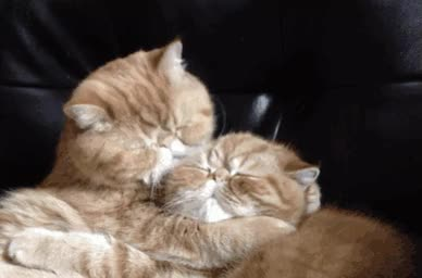 Watch The Exotic Shorthair cat breed???? GIF on Gfycat. Discover more related GIFs on Gfycat