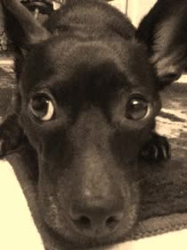 Watch and share Cute Puppy Chiweenie Gif GIFs on Gfycat