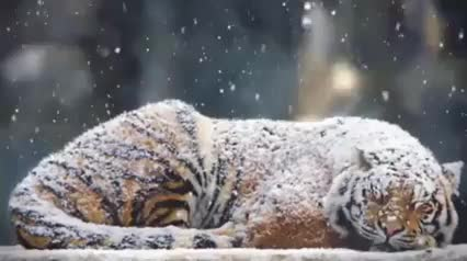 animal, animals, cat, nature, pets & animals, tiger, tiger stone, tigress, Sleeping Tiger GIFs