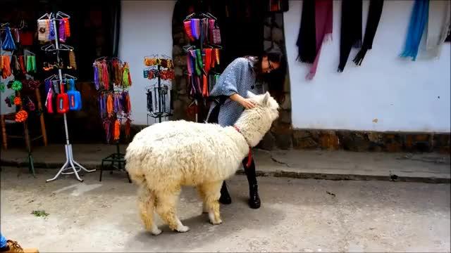 Watch and share Abraza A La Alpaca / Hug To The Alpaca GIFs on Gfycat