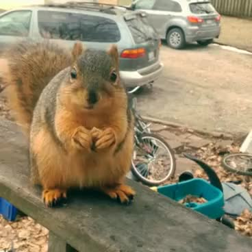 Watch Professional Squirrel Translator (Grateful Talking Squirrel) ORIGINAL! GIF on Gfycat. Discover more All Tags, Thankful, aww, cute, eating, fat, funny, grateful, hilarious, professional, sonofkoji, talking, translator GIFs on Gfycat