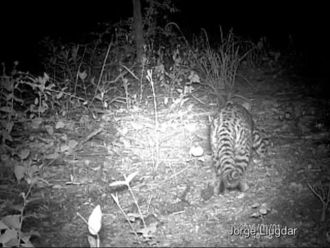 Watch and share GATO MONTES (Leopardus Geoffroyi) GIFs by likkaon on Gfycat