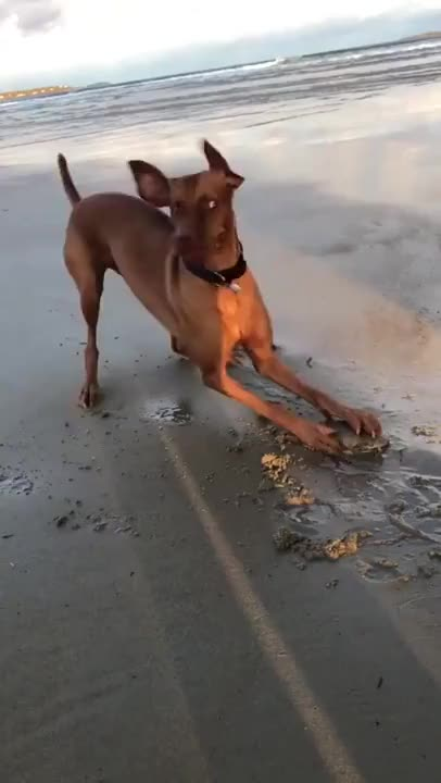 Watch and share He Found A Clam, A CLAM! GIFs by funnyvidspage on Gfycat