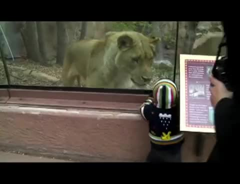 Watch and share Lions GIFs and Lion GIFs on Gfycat