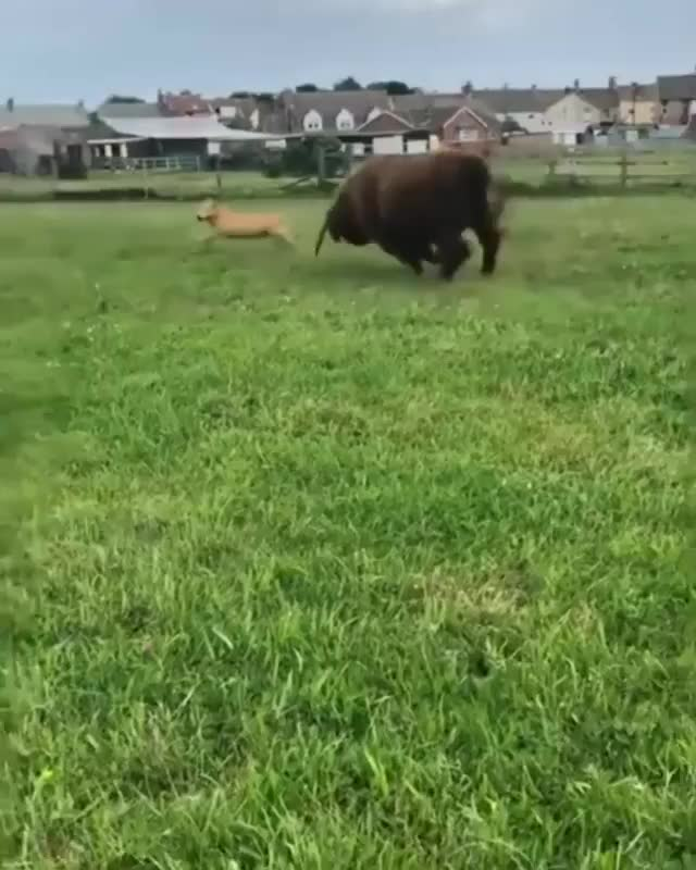 Watch and share A Very Playful Highland Cow GIFs by tothetenthpower on Gfycat