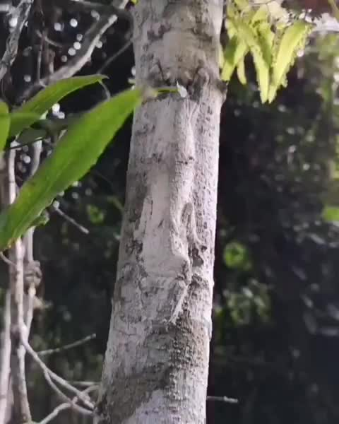 The camouflage of the mossy leaf-tailed gecko GIFs