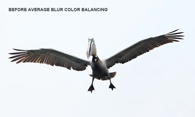 Watch and share Brown Pelican ANIM Landing Laughing BEF BLUR COLOR BAL Alafia Banks Tampa Bay FL GIFs on Gfycat