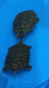 Watch A turtle slapping another turtle GIF on Gfycat. Discover more related GIFs on Gfycat