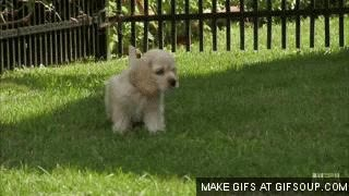 Watch American Cocker Spaniel GIF on Gfycat. Discover more related GIFs on Gfycat