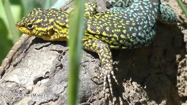 Watch Lagartija tenue o esbelta (Liolaemus tenuis) GIF by @likkaon on Gfycat. Discover more Fauna de Chile, Pets & Animals GIFs on Gfycat